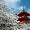 цветущая сакура - Япония. Travel.Ru