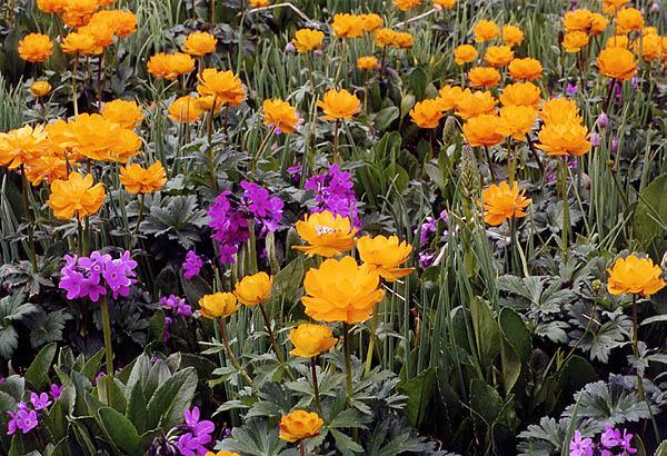Картинка сибиоские полевые цветы
