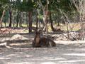 Храм для тигров - олень ©Kitya Karlson