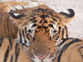 Храм для тигров - тигр ©Kitya Karlson