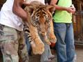 Храм для тигров - тигрёнок ©Kitya Karlson