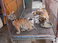 Храм для тигров - тигрята ©Kitya Karlson