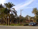 Пальмовые рощи в Мемфисе / Фото из Египта