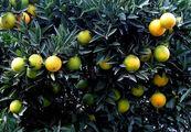 Зеленые апельсины / Фото из Турции