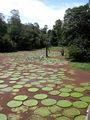 Лилии Виктория, на которых можно стоять / Фото из Аргентины