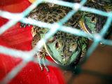 жабка зелёненькая / Китай