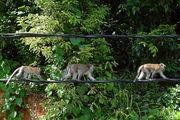 А вот так они уходят в лес / Фото из Малайзии