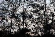 Дерево, увешанное лисицами / Фото из Малайзии