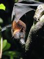 Летучая лисица / Фото из Малайзии