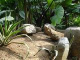 дракон комодо на прогулке / Индонезия