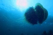 Медуза впечатляющих размеров / Фото из Южной Кореи