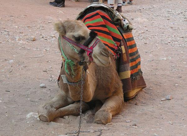Набатейский верблюд / Фото из Иоpдании