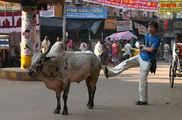 корова / Индия