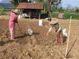 Пао на посеве чеснока / Мьянма