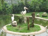 пеликаны / Малайзия