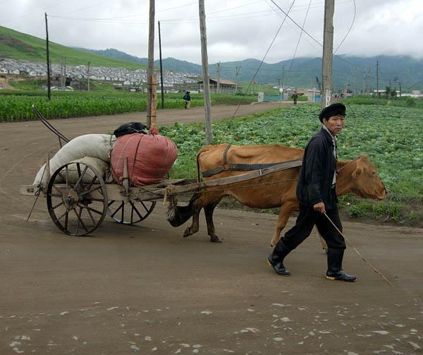 Основной грузовой транспорт - это коровы / Фото из Северной Кореи