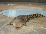 крокодил. 'он ка-ак прыгнет!' / Малайзия
