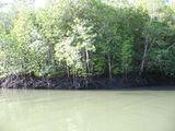 собственно мангровые заросли / Малайзия