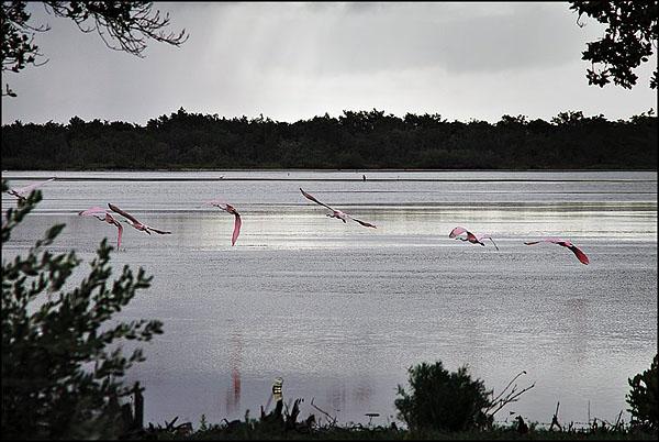 Розовые птицы в  Ла-Боке / Фото с Кубы