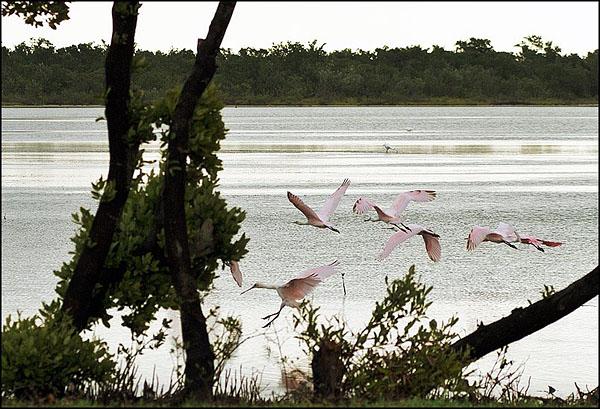 Колпица розовая в  Ла-Боке / Фото с Кубы