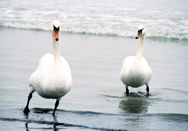 Лебеди / Фото из Эстонии