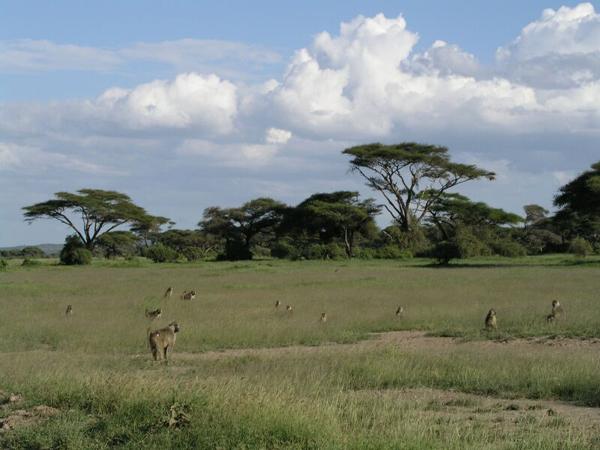 Саванна — огромная степь: трава, кое-где одинокое дерево или кустики / Фото из Кении