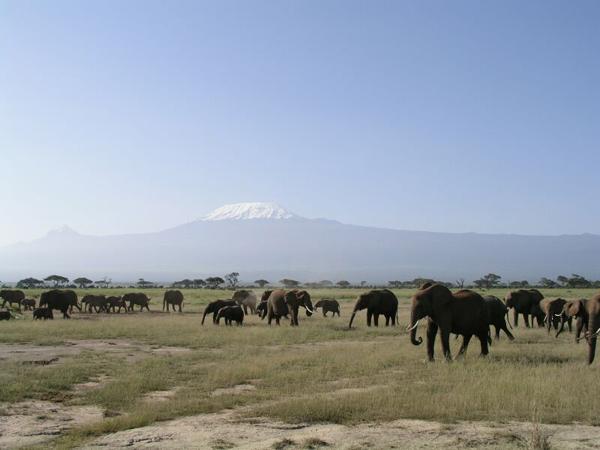 Стадо слонов / Фото из Кении