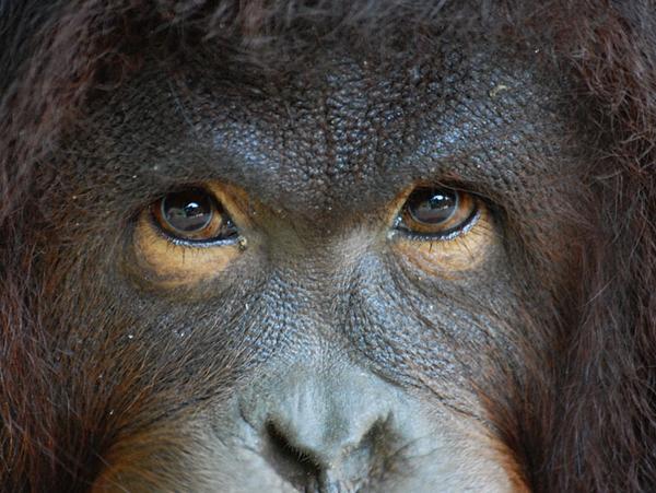 Морда орангутанга / Фото из Малайзии