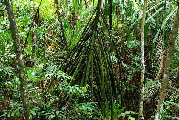 Корни больше самого растения / Фото из Малайзии