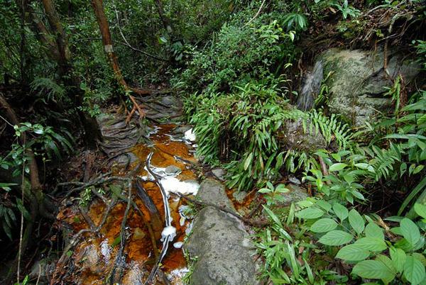 Камнеразъедающее сочное дерево / Фото из Малайзии