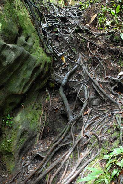 Лестница из корней / Фото из Малайзии