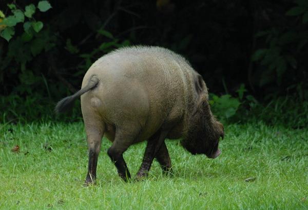 Дикие свиньи / Фото из Малайзии