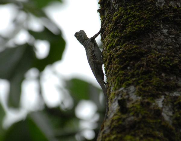 Летающая ящерица / Фото из Малайзии