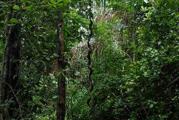 Лесные заросли / Фото из Малайзии