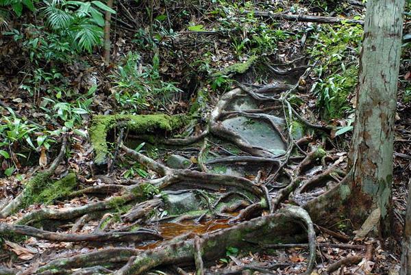 Сплетение корней / Фото из Малайзии