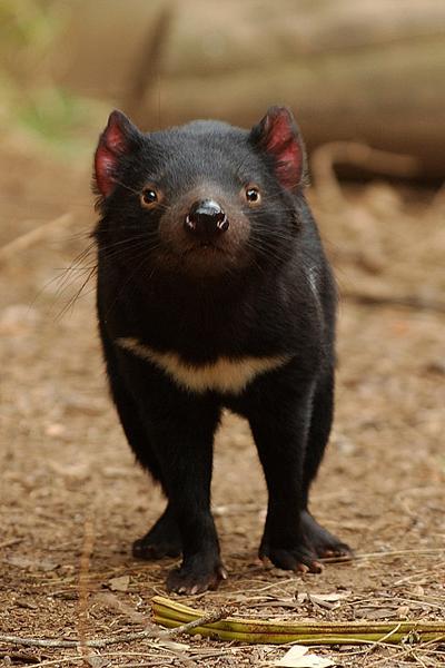 Портрет тасманийского дьявола / Фото из Австралии