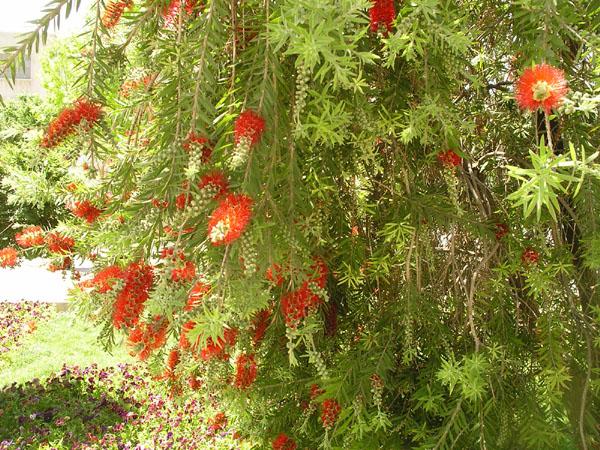 Цветущее дерево / Фото из Ирана