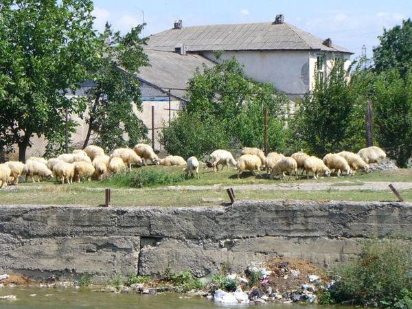 Овцы в городе / Фото из Грузии