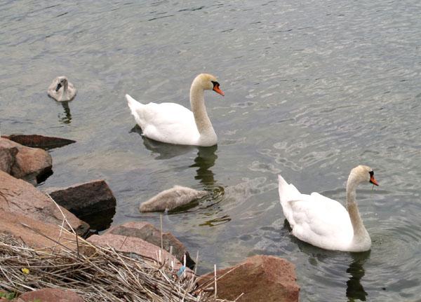 Семья лебедей / Фото из Финляндии
