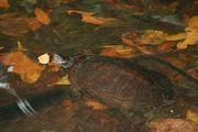 черепаха / Доминикана