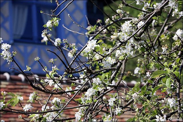 Яблони цветут / Фото из Франции