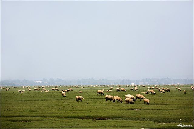 Овцы на лугу / Фото из Франции