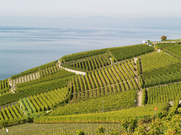 Виноградные холмы имеют необыкновенный салатовый цвет / Фото из Швейцарии