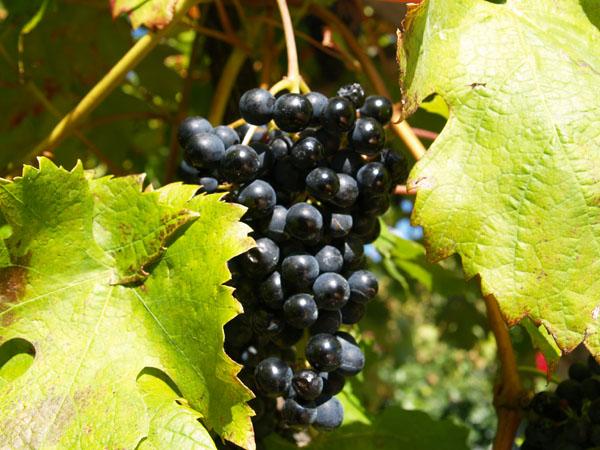 Лучшие грозди скрываются за широкими яркими листьями / Фото из Швейцарии