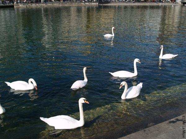 Очередные швейцарские лебеди, от которых невозможно оторвать взгляд / Фото из Швейцарии