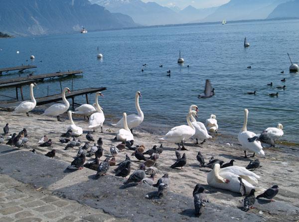 В Швейцарии лебеди такие же птицы, как голуби и утки / Фото из Швейцарии