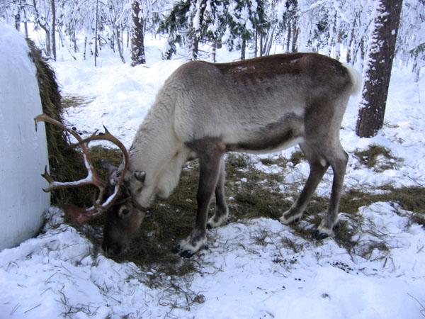 Снег оленю не помеха / Фото из Финляндии