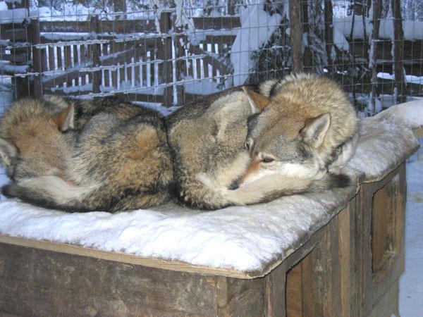 Безмятежный сон на снегу / Фото из Финляндии