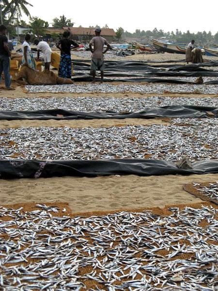 Рыбный рынок, Негомбо / Фото со Шри-Ланки