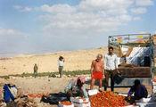 Уборка томатов на плато в горах / Иордания